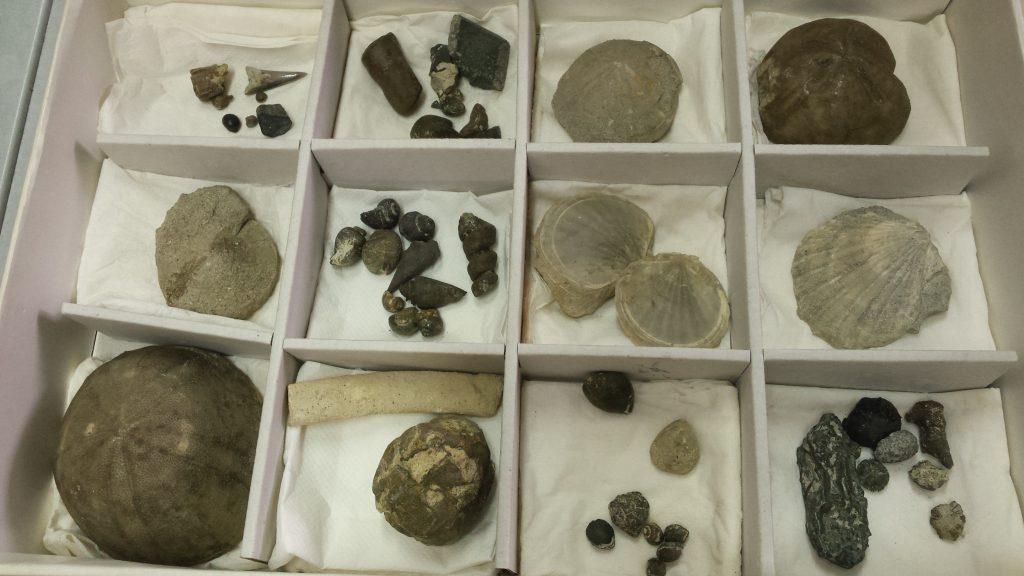 donazione fossili betta_foto comune Bra